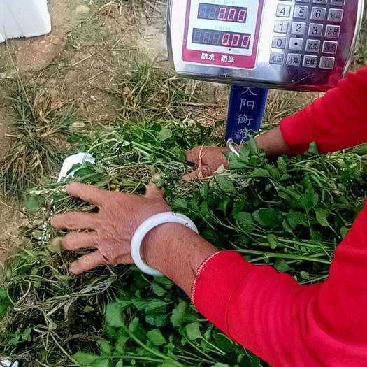 广东省清远市清新区豆瓣菜 西洋菜种苗~种植西洋菜产量高一次种植循环收割四丶五茬