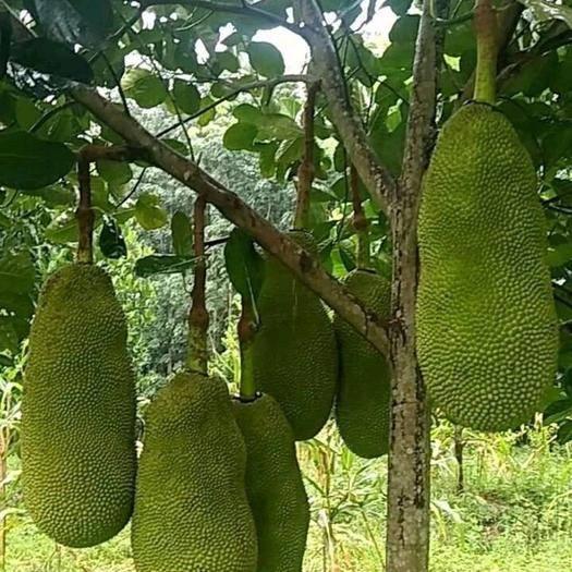 钦州灵山县马来西亚一号菠萝蜜苗  带营养杯发货的