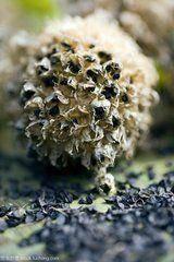 武威民勤县沙葱种子 阿拉善,发芽率高,颗粒饱满!