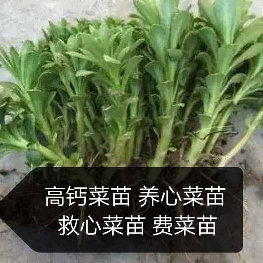 济南天桥区高钙菜种子
