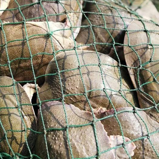嘉兴海盐县外塘甲鱼 2斤左右的40元一个包活