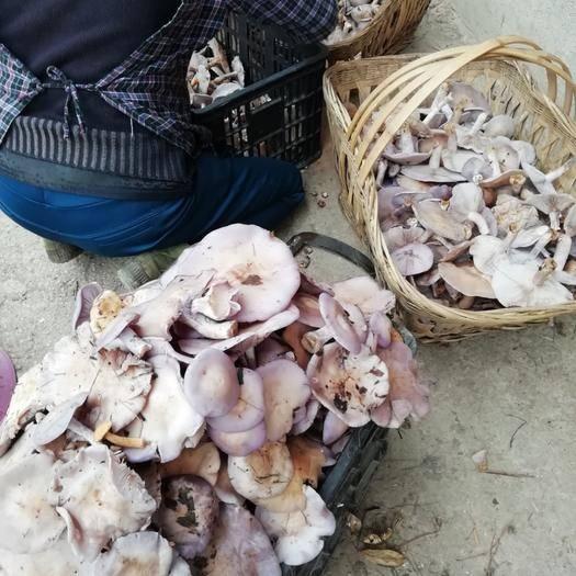 贵州省黔南布依族苗族自治州长顺县松乳菇 野生 鲜货