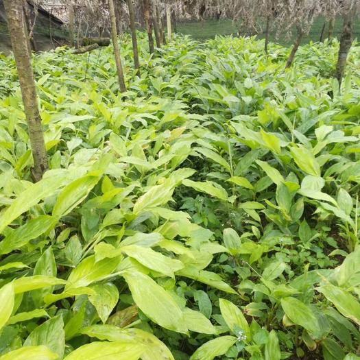 文山文山市草果苗 独本苗 0.5米以下
