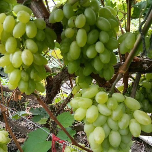 呼玛县白鸡心葡萄 5%以下 1次果 1.5- 2斤