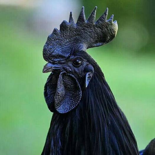 宜昌西陵区 五黑鸡