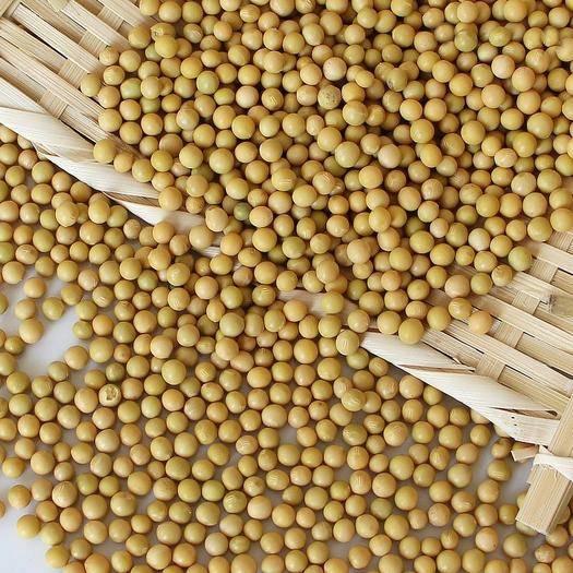 赤峰红山区芽豆690 生大豆 1等品