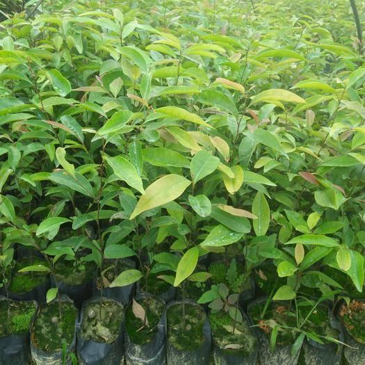 广州增城区红椎种子