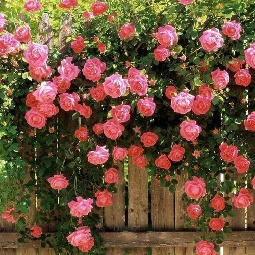 泰安蔷薇苗
