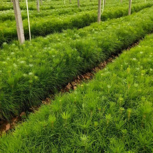 中方县湿地松树苗
