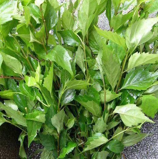 达州宣汉县豆腐柴苗 是绿色纯天然无公害药材食材,高档产品基地直供量大优惠