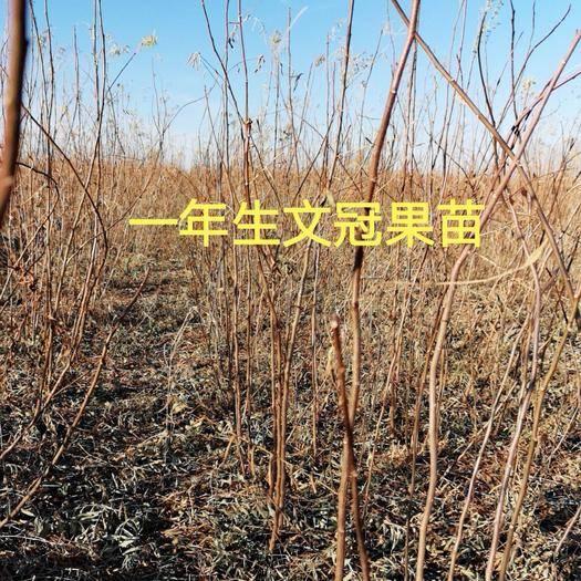 赤峰翁牛特旗文冠果树苗 0.5~1.0米