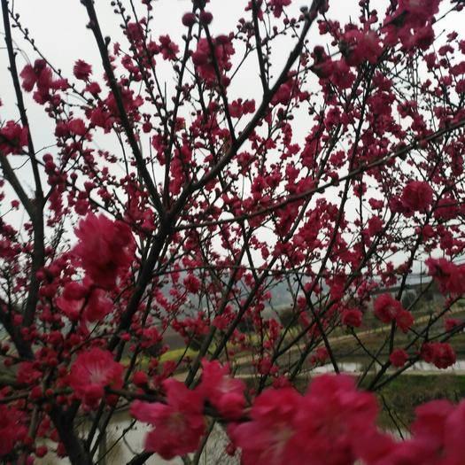 长沙岳麓区满天红碧桃苗