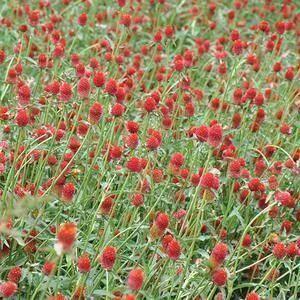 赤峰元宝山区千日红种子