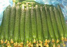 济南济阳区 诚信赢天下!山东黄瓜种植基地,新鲜黄瓜大批量上市,量大从优