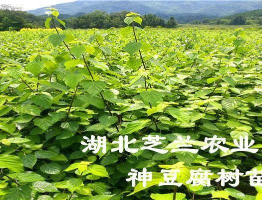 恩施土利川市豆腐柴苗 观音豆腐树苗基地专供臭黄荆树 神豆腐树