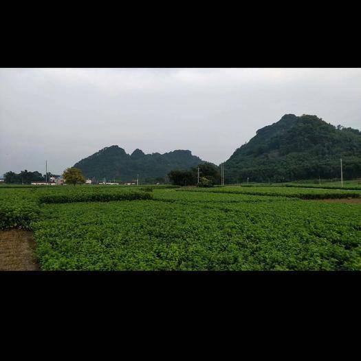 广东省云浮市罗定市桑芽 5-10cm 人工种植