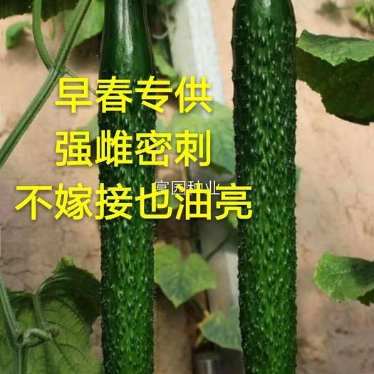 寿光市油亮密刺黄瓜种子 强雌不嫁接油亮型