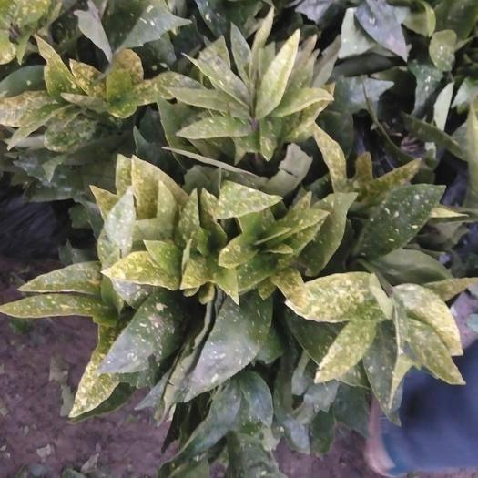 沭陽縣 灑金珊瑚 桃葉珊瑚花葉青木苗庭院別墅綠化彩葉樹苗耐寒喜陰樹苗