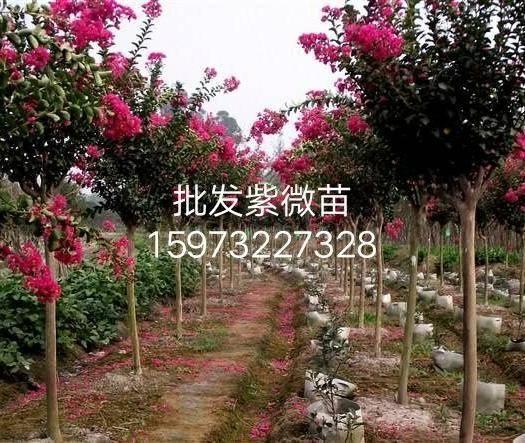 湘潭湘鄉市紅火箭紫薇