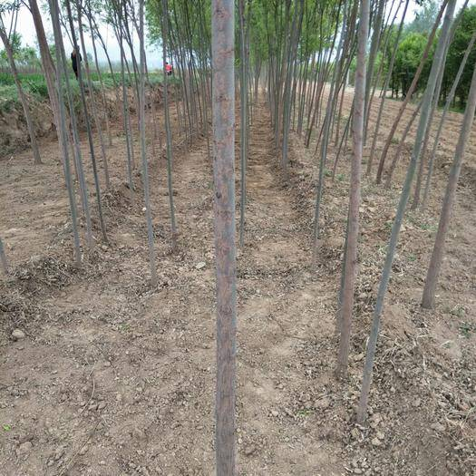 運城絳縣 低價供應:金絲柳,旱柳,竹柳,饅頭柳