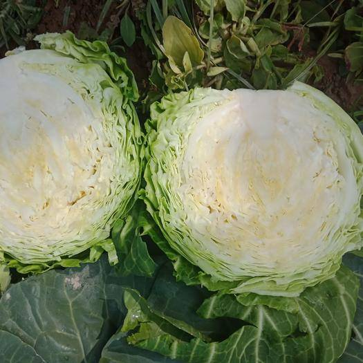 天门天门市旺旺甘蓝 2.0~2.5斤