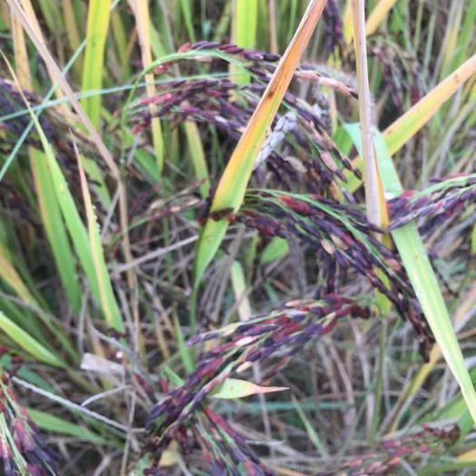 長沙岳麓區 無公害農家自種紫米