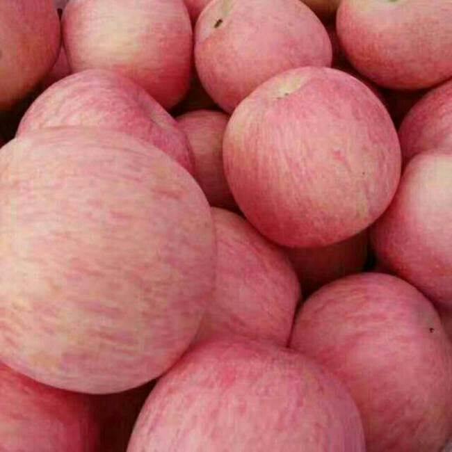 红富士苹果 光果 条红 75mm以上