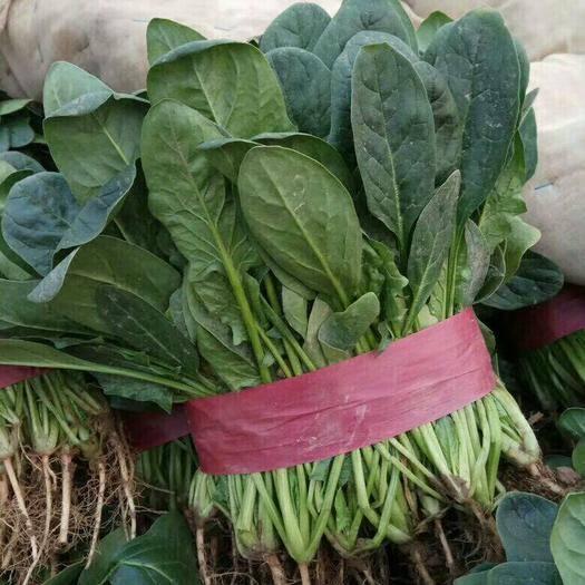 安阳滑县大叶菠菜 20~25cm