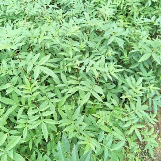重慶江津九葉青花椒苗 花椒樹苗基地直銷 現挖現發 支持種植技術