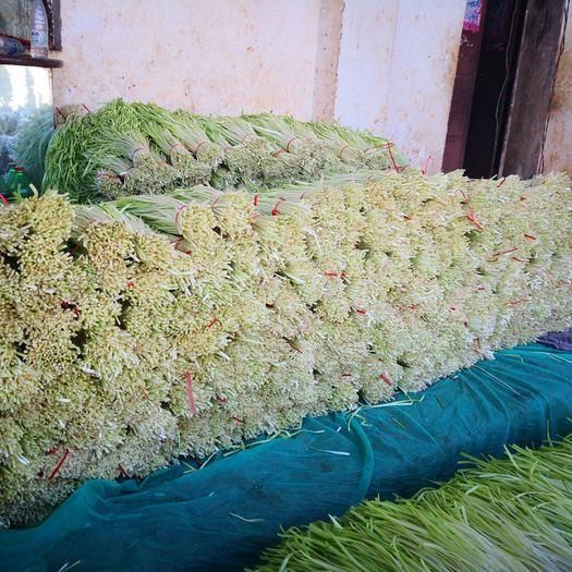 红河弥勒市云南韭黄 二茬 40~50cm