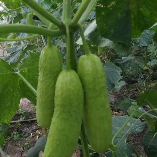 郑州水果黄瓜种子 水果黄瓜  口感清脆  挂果密