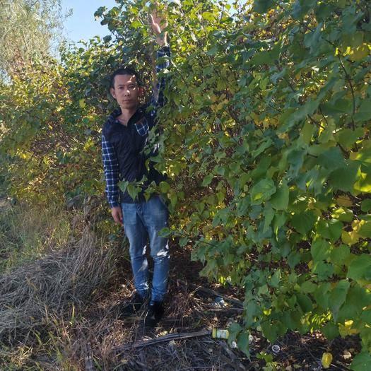 鐵嶺鐵嶺縣紫丁香 4cm以下 2cm以下 1.5~2米