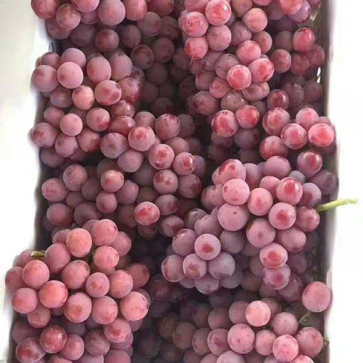 涿鹿县红地球葡萄 5%以下 1次果 2斤以上