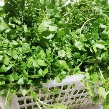 大叶豆瓣菜