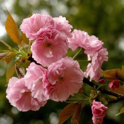 平邑縣泰國櫻花 品種保證,死苗請您第一時間聯系我,免費補發或全額退款。