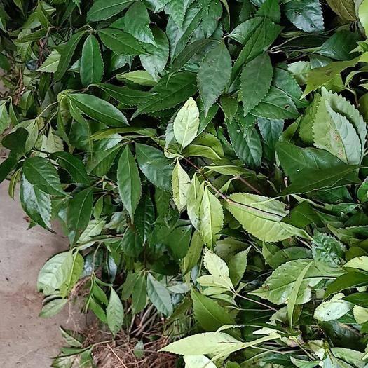 宜春万载县草珊瑚种子 草珊瑚、苗子、种苗、种子、九节茶、