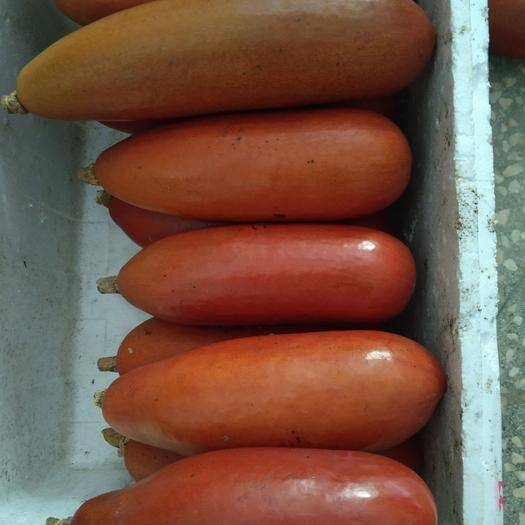 南平建瓯市香如蜜种子 红香蜜甜瓜种子 南美香如蜜 香味扑鼻汁如蜜糖 香瓜观赏蔬菜种