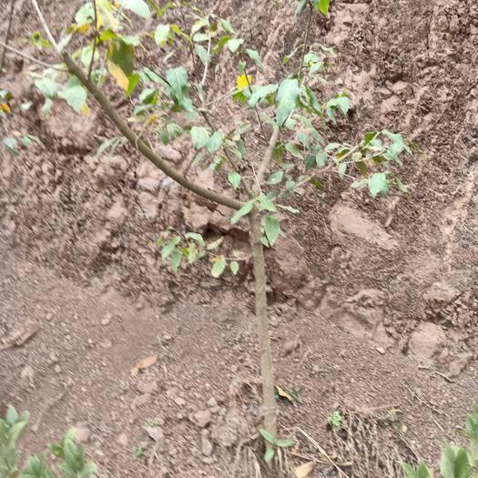 遵義桐梓縣素心臘梅 1~1.5米