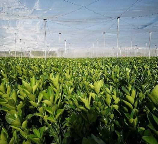 赣州宁都县赣南脐橙苗 早熟脐橙苗 网蓬种植品种纯。