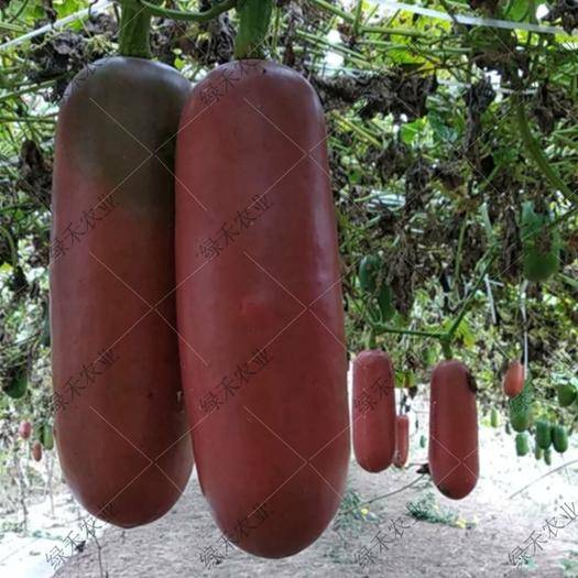 济南槐荫区香如蜜种子 火腿瓜籽 特色瓜果