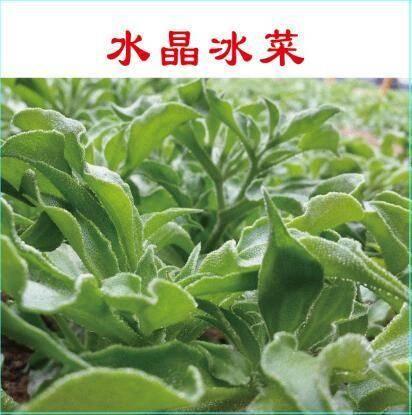 济南历城区冰草种子 冰菜种子