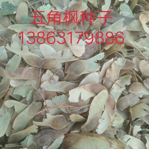 单县枫树种子  五角枫树