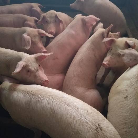 南充营山县土猪 80斤以上