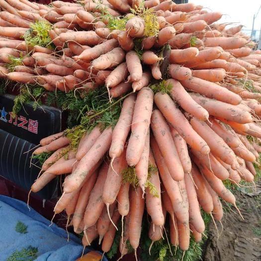 开封祥符区三红胡萝卜 15cm以上
