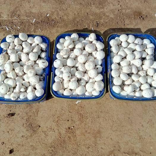 邯郸广平县双孢菇 2cm~4cm 未开伞 厚盖菇