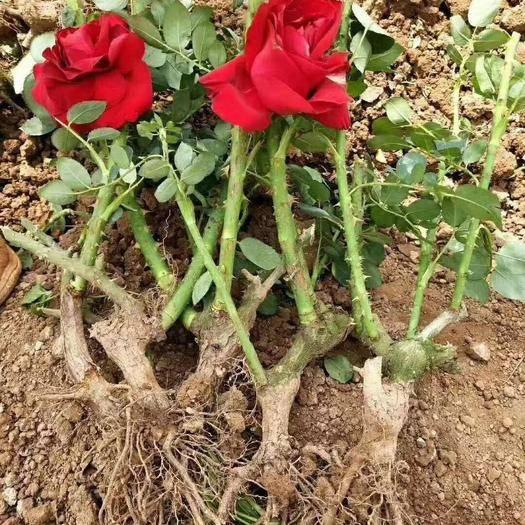 昆明呈贡区玫瑰苗 绿化工程苗,质量保证,货品新鲜
