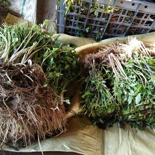 安庆岳西县 野 水芹种苗