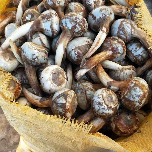 红河弥勒市白肉慈菇 20~30g