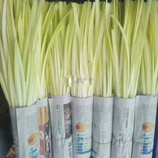 红河弥勒市云南韭黄 头茬 50~60cm