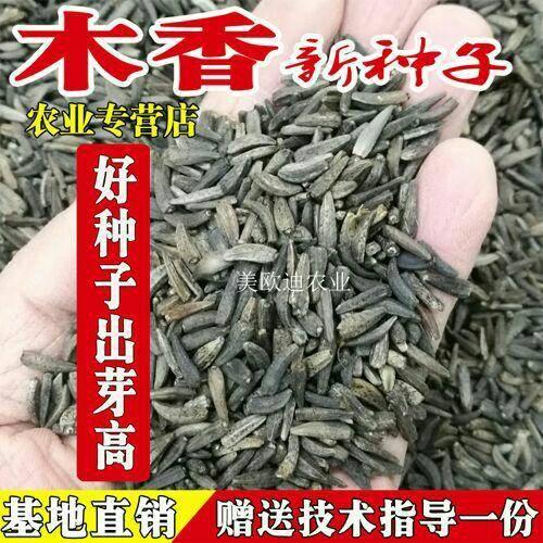昆明西山區云木香 新種子(高出芽率)基地直銷